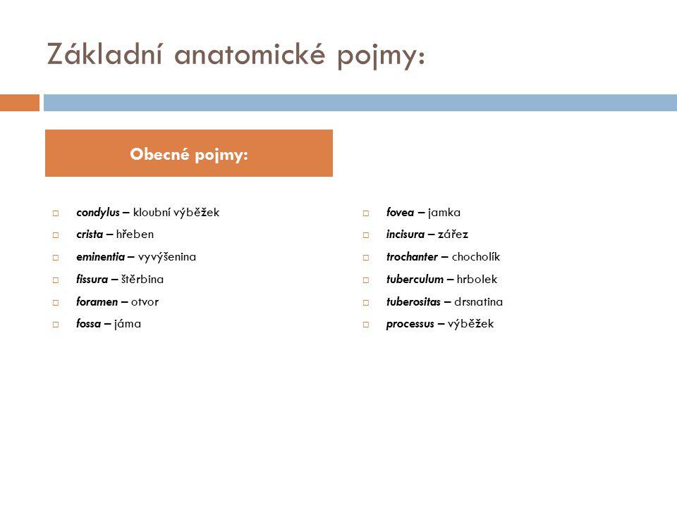 Základní anatomické pojmy:  condylus – kloubní výběžek  crista – hřeben  eminentia – vyvýšenina  fissura – štěrbina  foramen – otvor  fossa – já