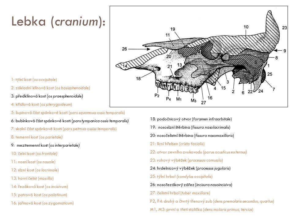 Lebka (cranium): 1: týlní kost (os occipitale) 2: základní klínová kost (os basisphenoidale) 3: předklínová kost (os praesphenoidale) 4: křídlová kost