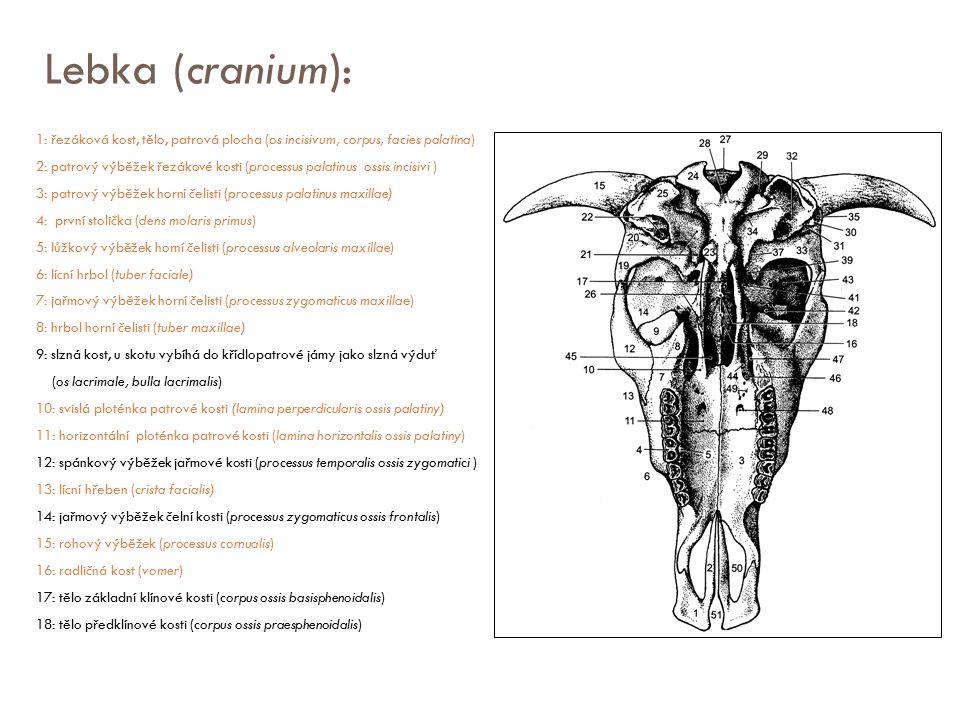 Lebka (cranium): 1: řezáková kost, tělo, patrová plocha (os incisivum, corpus, facies palatina) 2: patrový výběžek řezákové kosti (processus palatinus
