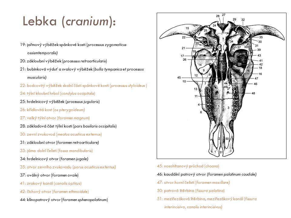 Lebka (cranium): 19: jařmový výběžek spánkové kosti (processus zygomaticus ossismtemporalis) 20: zákloubní výběžek (processus retroarticularis) 21: bu