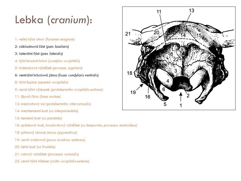 Lebka (cranium): 1: velký týlní otvor (foramen magnum) 2: základnová část (pars basilaris) 3: laterální část (pars lateralis) 4: týlní kloubní hrbol (
