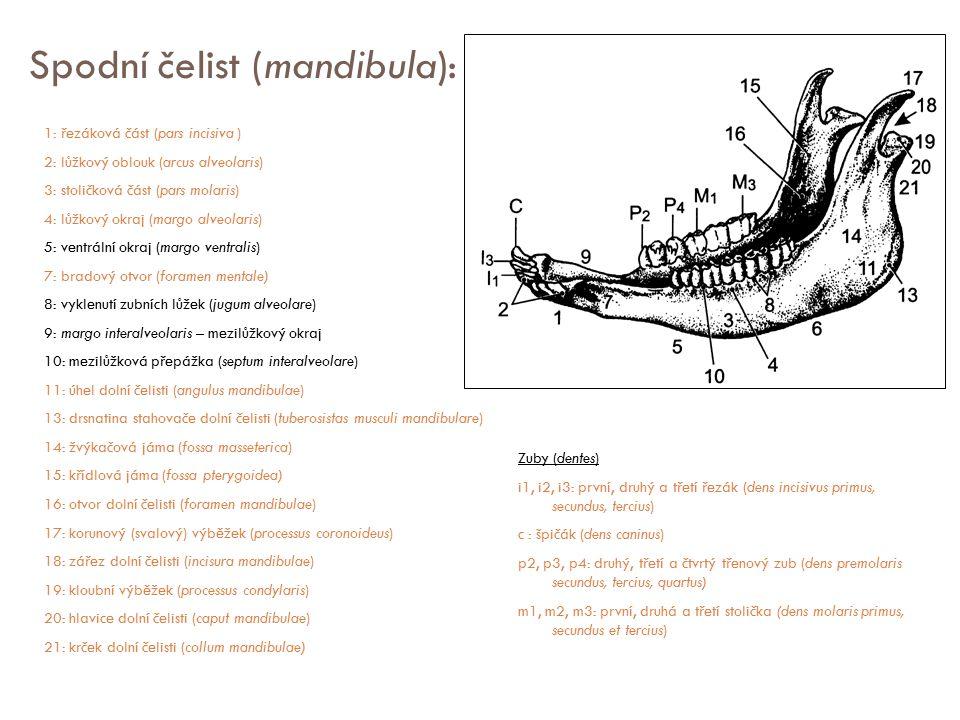 Spodní čelist (mandibula): 1: řezáková část (pars incisiva ) 2: lůžkový oblouk (arcus alveolaris) 3: stoličková část (pars molaris) 4: lůžkový okraj (