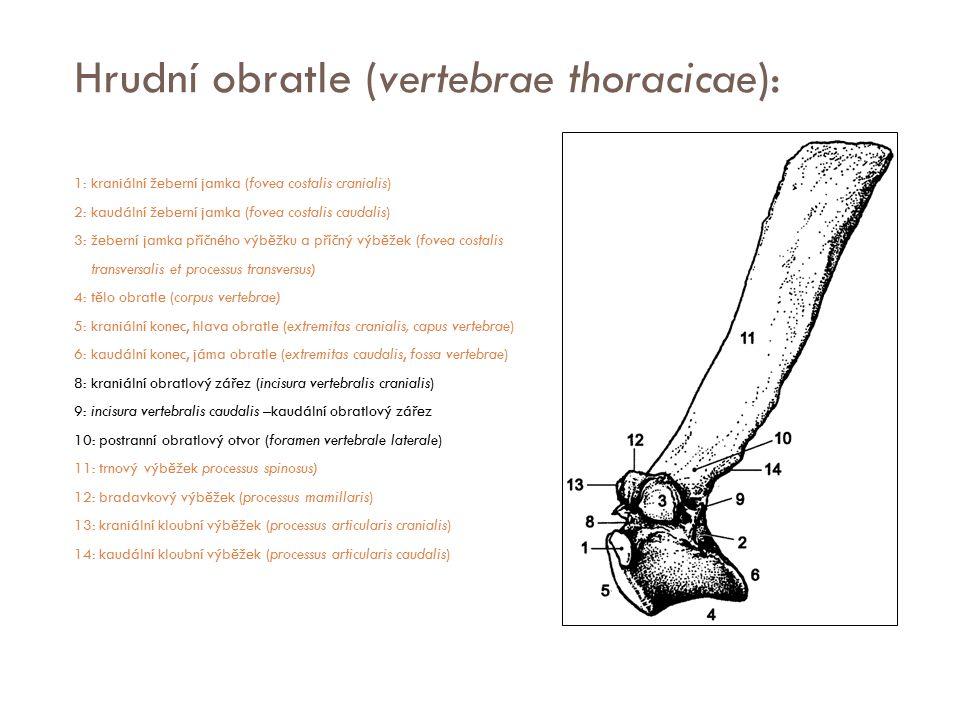 Hrudní obratle (vertebrae thoracicae): 1: kraniální žeberní jamka (fovea costalis cranialis) 2: kaudální žeberní jamka (fovea costalis caudalis) 3: že