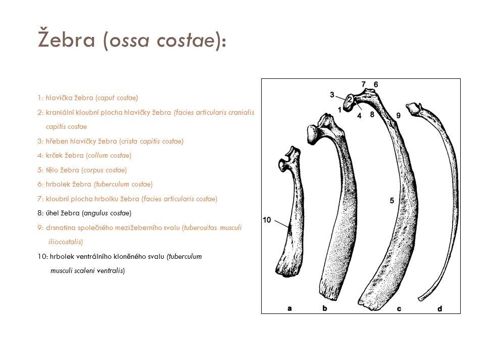 Žebra (ossa costae): 1: hlavička žebra (caput costae) 2: kraniální kloubní plocha hlavičky žebra (facies articularis cranialis capitis costae 3: hřebe