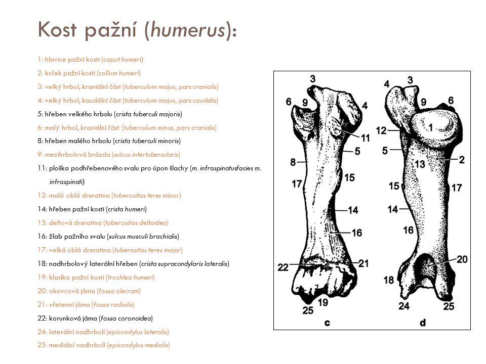 Kost pažní (humerus): 1: hlavice pažní kosti (caput humeri) 2: krček pažní kosti (collum humeri) 3: velký hrbol, kraniální část (tuberculum majus, par