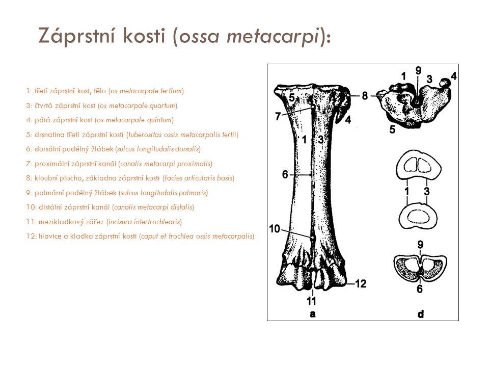 Záprstní kosti (ossa metacarpi): 1: třetí záprstní kost, tělo (os metacarpale tertium) 3: čtvrtá záprstní kost (os metacarpale quartum) 4: pátá záprst