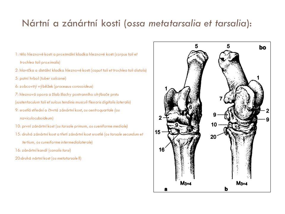 Nártní a zánártní kosti (ossa metatarsalia et tarsalia): 1: tělo hleznové kosti a proximální kladka hleznové kosti (corpus tali et trochlea tali proxi