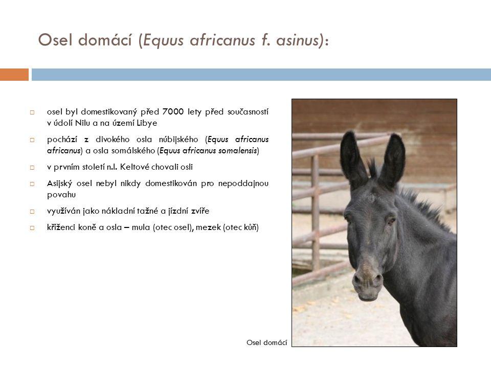  osel byl domestikovaný před 7000 lety před současností v údolí Nilu a na území Libye  pochází z divokého osla núbijského (Equus africanus africanus