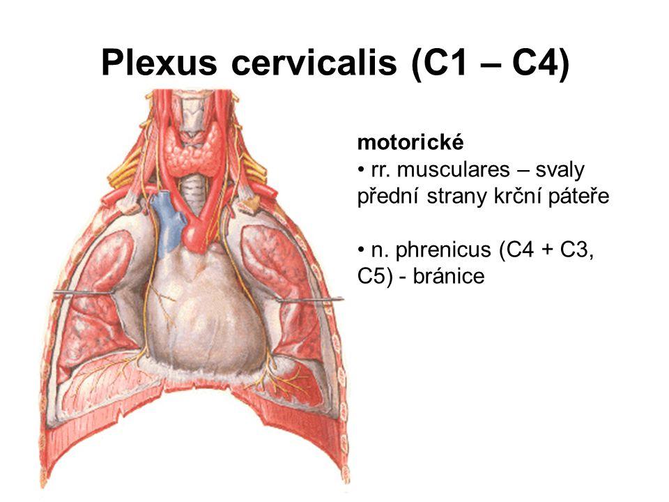 motorické rr. musculares – svaly přední strany krční páteře n. phrenicus (C4 + C3, C5) - bránice Plexus cervicalis (C1 – C4)