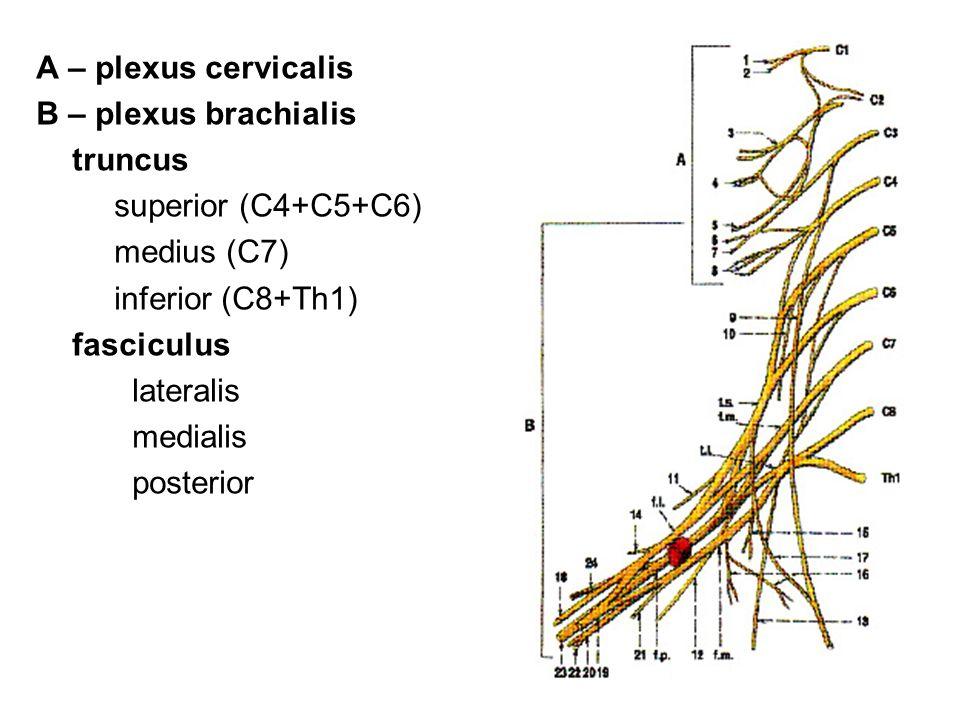 A – plexus cervicalis B – plexus brachialis truncus superior (C4+C5+C6) medius (C7) inferior (C8+Th1) fasciculus lateralis medialis posterior