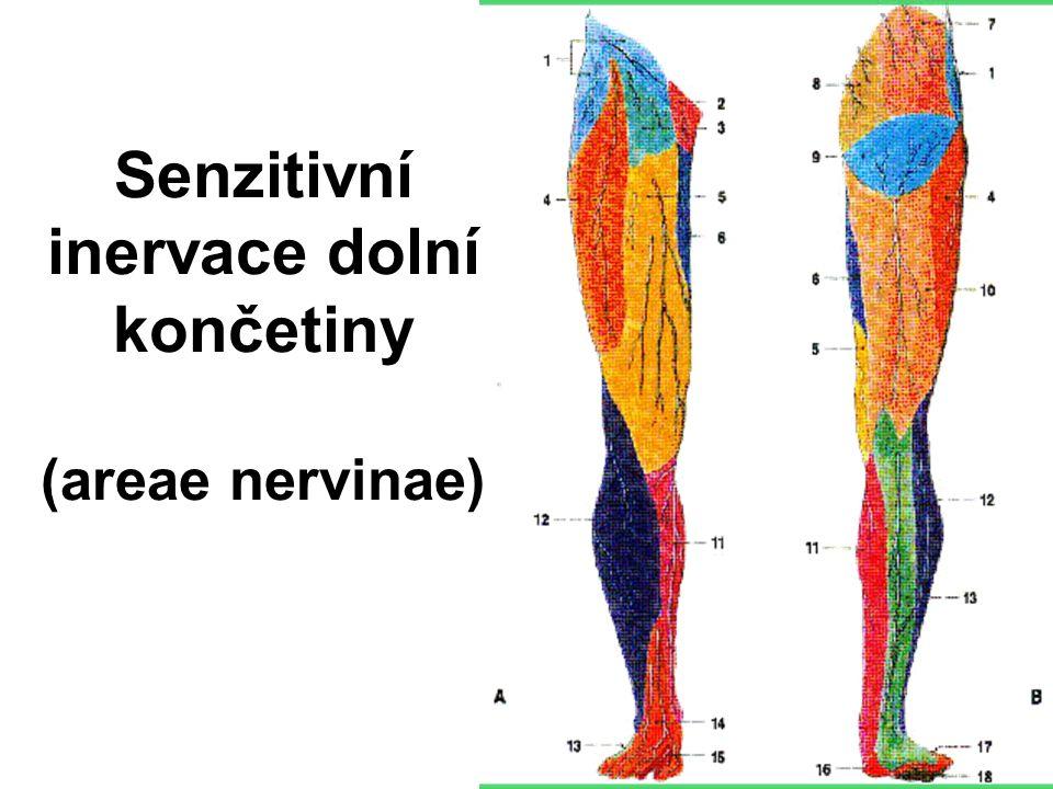 Senzitivní inervace dolní končetiny (areae nervinae)