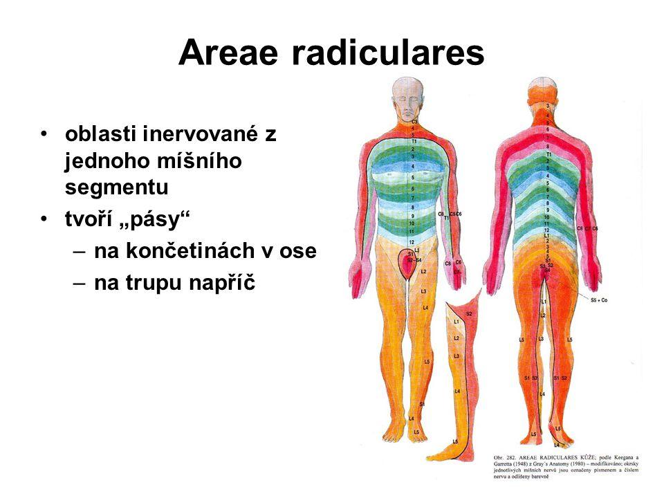 Rami posteriores nervorum spinalium zadní větve segmentová úprava nevytváří pleteně nervy smíšené motoricky - hluboké zádové svalstvo senzitivně - kůži mediálně při páteři