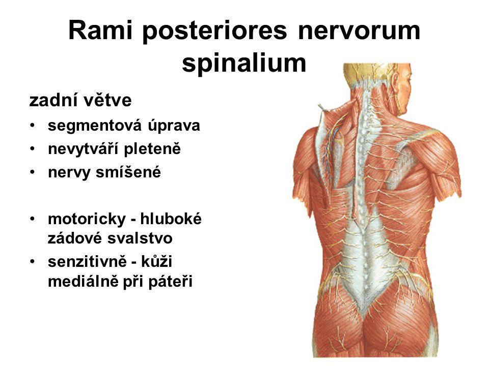 C1 – C3 n.suboccipitalis – motorický (1) n. occipitalis major – senzitivní (2) n.