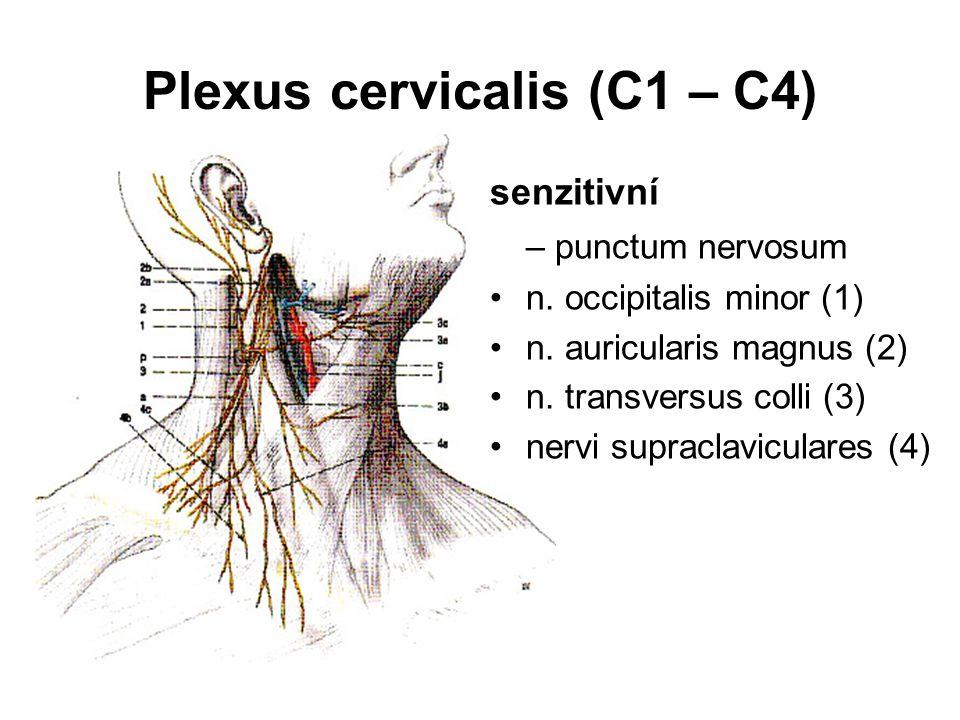 Plexus cervicalis (C1 – C4) senzitivní – punctum nervosum n. occipitalis minor (1) n. auricularis magnus (2) n. transversus colli (3) nervi supraclavi