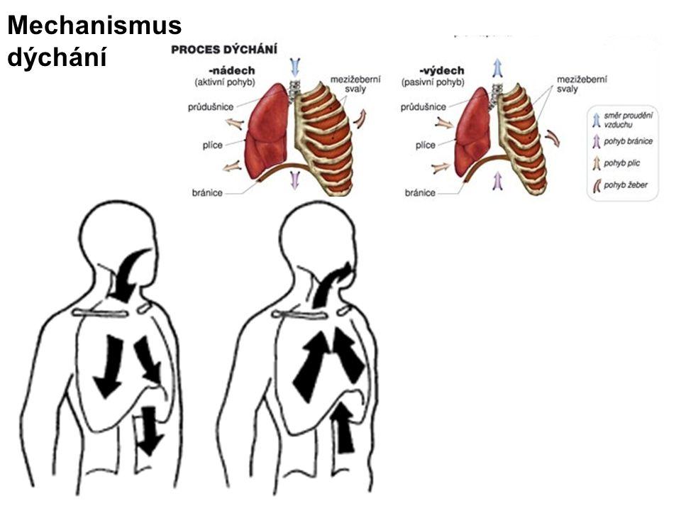 Mechanismus dýchání