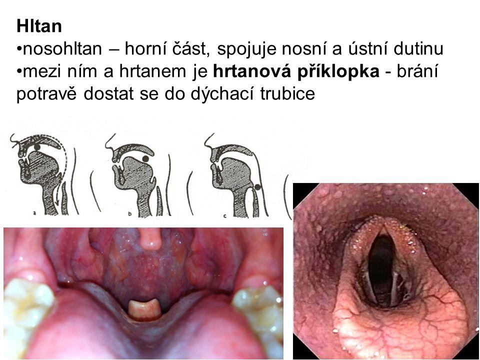 Hltan nosohltan – horní část, spojuje nosní a ústní dutinu mezi ním a hrtanem je hrtanová příklopka - brání potravě dostat se do dýchací trubice