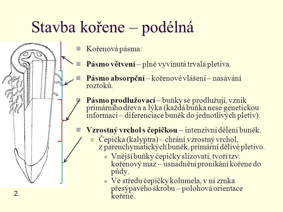 Stavba kořene – příčná Pokožka (rhizodermis) – jednovrstevná bez kutikuly a průduchů, rhiziny.