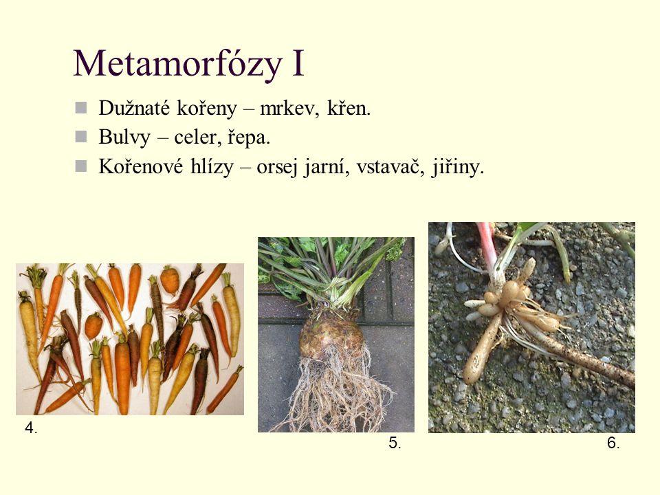Metamorfózy II Haustoria – ochmet, jmelí, kokotice jetelová, podbílek šupinatý, černýš.