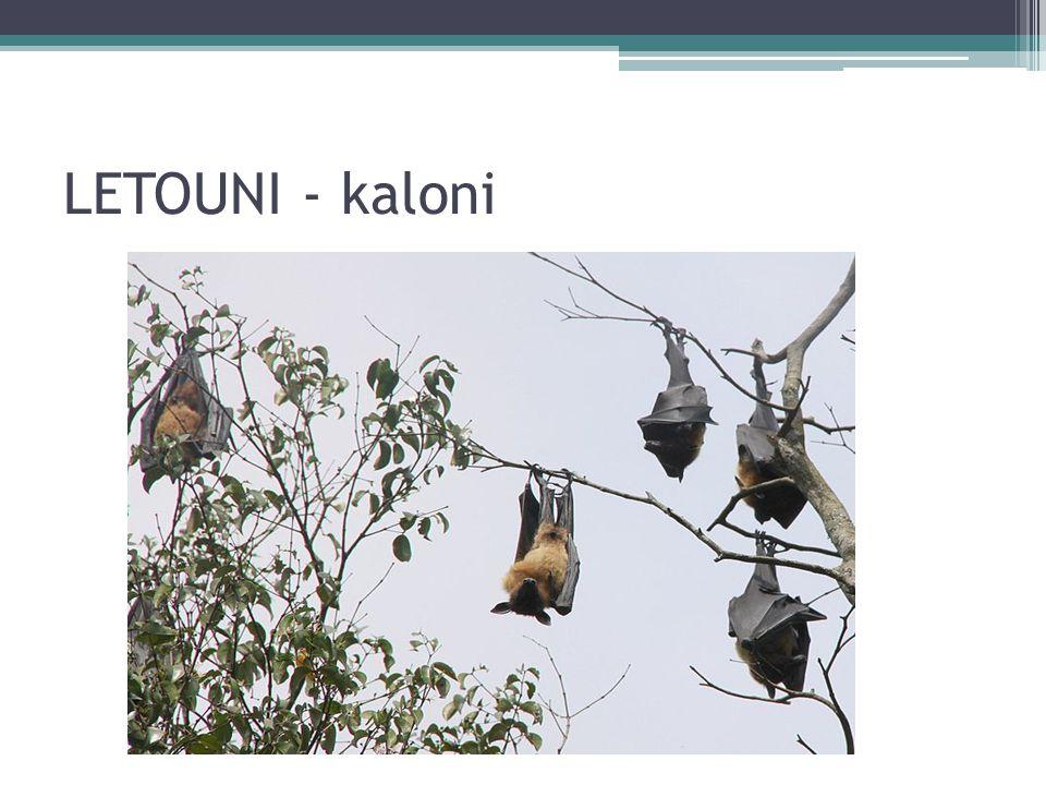 LETOUNI - kaloni