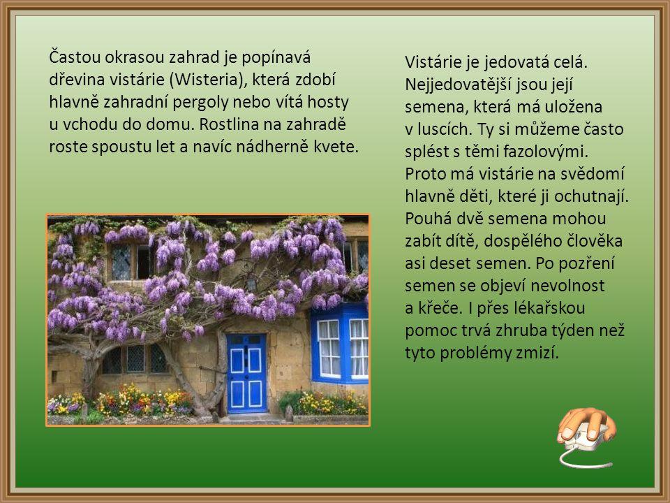 Častou okrasou zahrad je popínavá dřevina vistárie (Wisteria), která zdobí hlavně zahradní pergoly nebo vítá hosty u vchodu do domu.