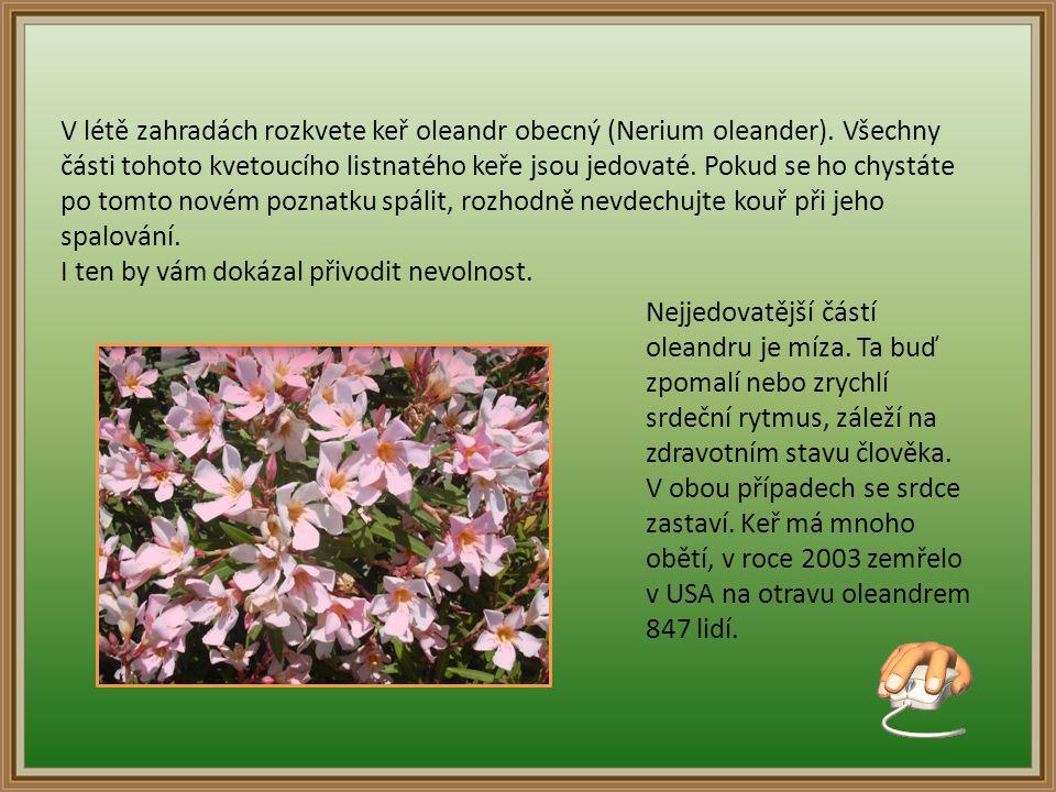 V létě zahradách rozkvete keř oleandr obecný (Nerium oleander).
