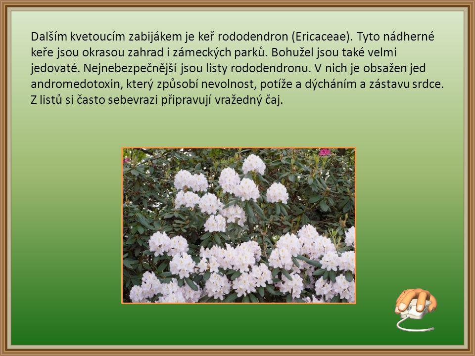 Dalším kvetoucím zabijákem je keř rododendron (Ericaceae).