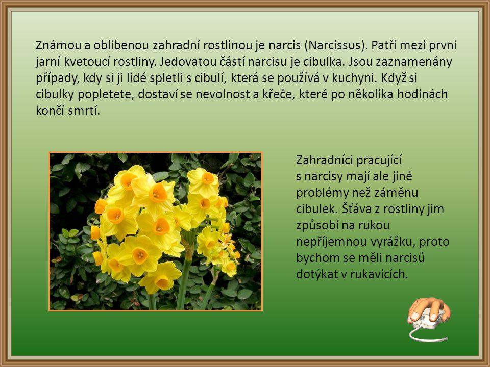 Známou a oblíbenou zahradní rostlinou je narcis (Narcissus).