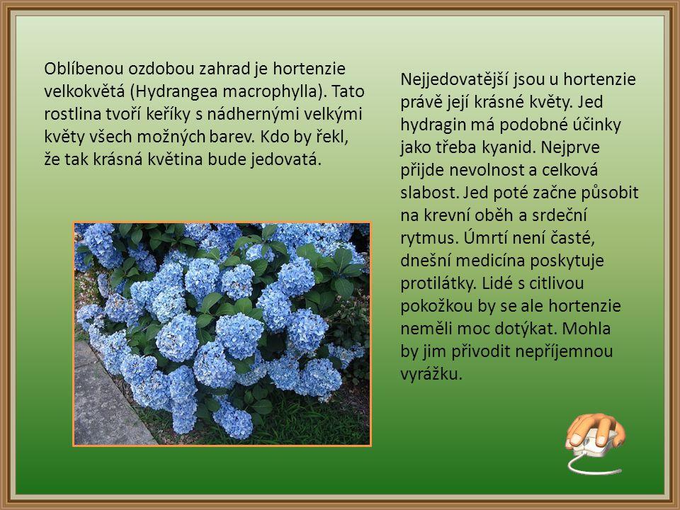 Oblíbenou ozdobou zahrad je hortenzie velkokvětá (Hydrangea macrophylla).