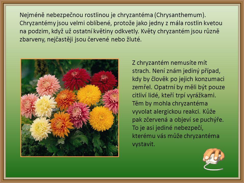 Nejméně nebezpečnou rostlinou je chryzantéma (Chrysanthemum).