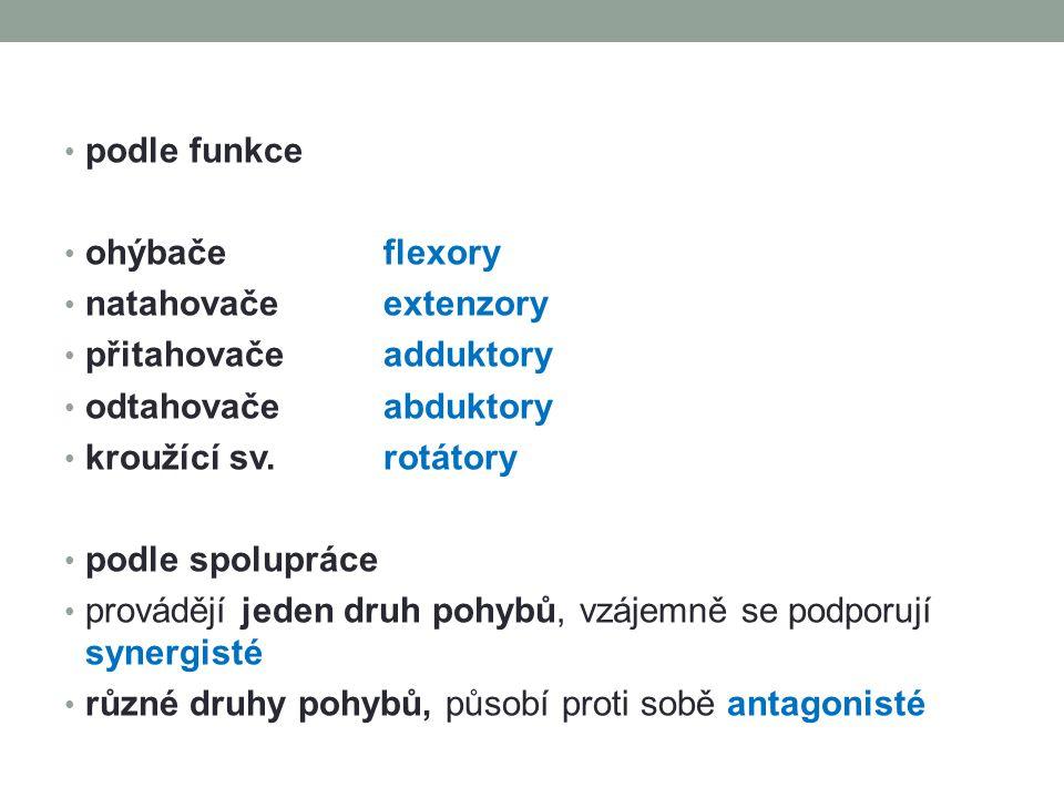 NÁZVOSLOVÍ SVALŮ podle tvaru svalů např.m. deltoideus podle průběhu vláken např.