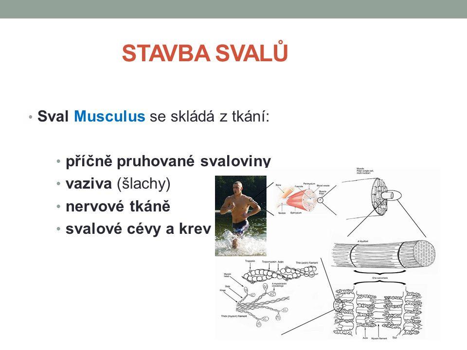 STAVBA SVALŮ Sval Musculus se skládá z tkání: příčně pruhované svaloviny vaziva (šlachy) nervové tkáně svalové cévy a krev