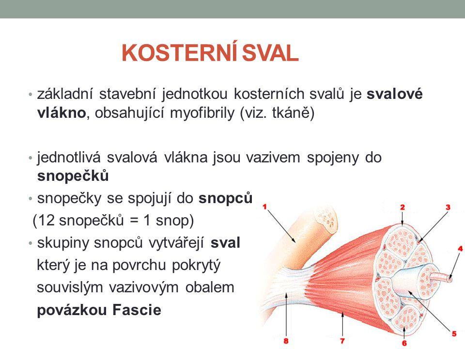 KOSTERNÍ SVAL základní stavební jednotkou kosterních svalů je svalové vlákno, obsahující myofibrily (viz. tkáně) jednotlivá svalová vlákna jsou vazive