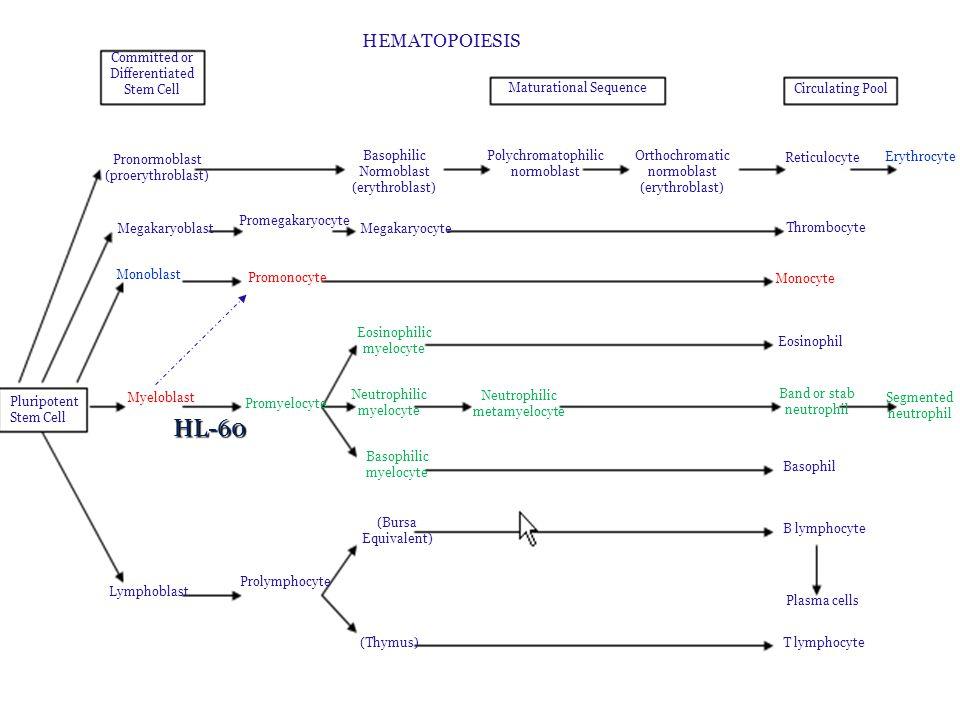 Diferenciační látky – princip účinku (ATRA 1  M) – PML/RAR protein méně účinný než RAR – ATRA zvyšuje jeho účinnost Vitamín D3 (VD3, kalcitriol) – aktivace kinázových kaskád, translokace do jádra, aktivace VDR, ovlivnění transkripce Phorbolmyristate acetate/12-O-tetradecanyl phorbol 13-acetate (PMA/TPA) – vazba na receptor asociovaný s protein kinázou C – PI3K – cAMP - pokles cMyc – zástava proliferace Dimetyl sulfoxid 1,3 % (DMSO ) – široké spektrum účinků – zvýšení fluidity membrány, aktivace kinázových kaskád, zvýšení Ca 2+, vazba na DNA - ovlivnění transkripce, demetylace Souběh drah ovlivňující kinázové kaskády, transkripční faktory (např.
