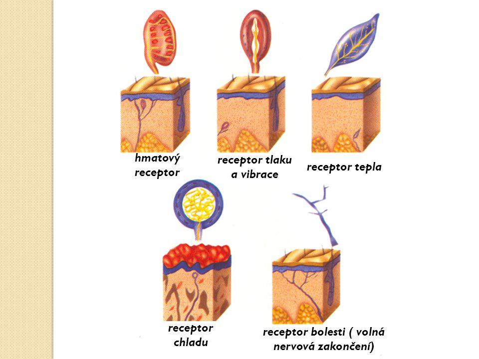 hmatový receptor receptor tlaku a vibrace receptor tepla receptor chladu receptor bolesti ( volná nervová zakončení)