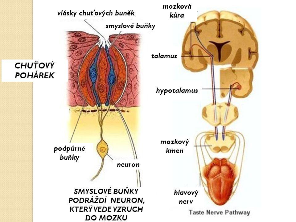 mozkový kmen hypotalamus talamus mozková kůra hlavový nerv podpůrné buňky neuron SMYSLOVÉ BUŇKY PODRÁŽDÍ NEURON, KTERÝ VEDE VZRUCH DO MOZKU smyslové b