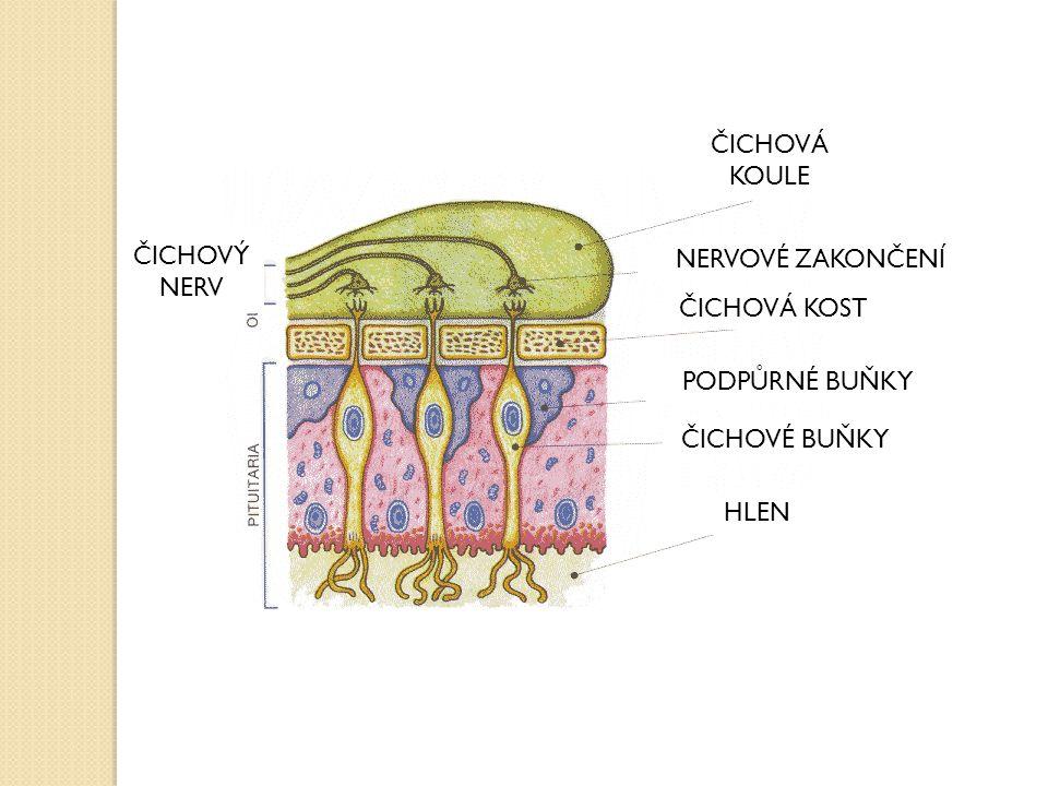 ČICHOVÁ KOULE NERVOVÉ ZAKONČENÍ ČICHOVÉ BUŇKY ČICHOVÝ NERV PODPŮRNÉ BUŇKY HLEN ČICHOVÁ KOST