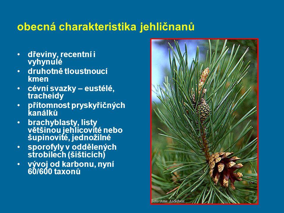 obecná charakteristika jehličnanů dřeviny, recentní i vyhynulé druhotně tloustnoucí kmen cévní svazky – eustélé, tracheidy přítomnost pryskyřičných kanálků brachyblasty, listy většinou jehlicovité nebo šupinovité, jednožilné sporofyly v oddělených strobilech (šišticích) vývoj od karbonu, nyní 60/600 taxonů