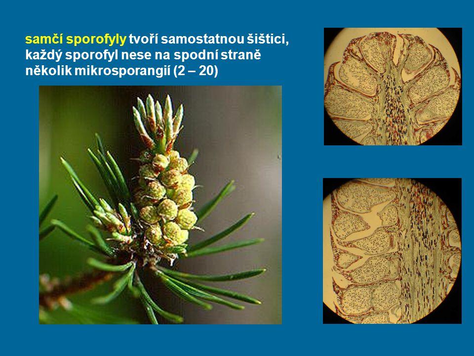 samčí sporofyly tvoří samostatnou šištici, každý sporofyl nese na spodní straně několik mikrosporangií (2 – 20)