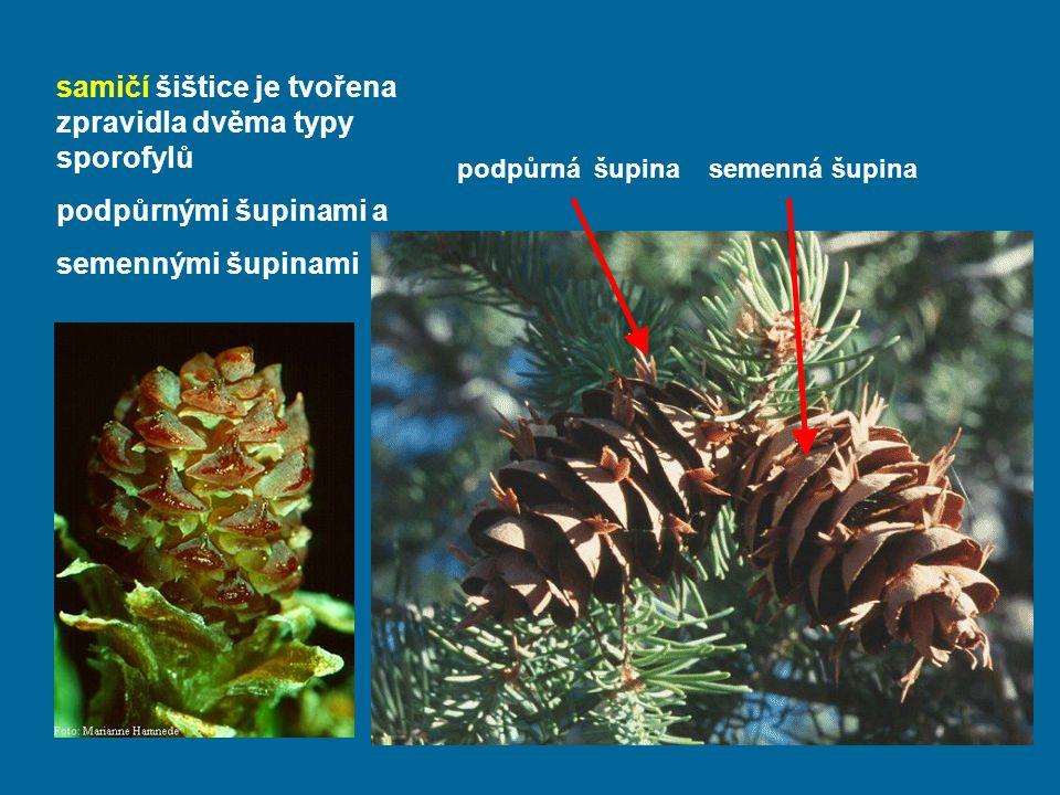 samičí šištice je tvořena zpravidla dvěma typy sporofylů podpůrnými šupinami a semennými šupinami podpůrná šupina semenná šupina