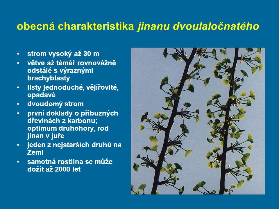 obecná charakteristika jinanu dvoulaločnatého strom vysoký až 30 m větve až téměř rovnovážně odstálé s výraznými brachyblasty listy jednoduché, vějířovité, opadavé dvoudomý strom první doklady o příbuzných dřevinách z karbonu; optimum druhohory, rod jinan v juře jeden z nejstarších druhů na Zemi samotná rostlina se může dožít až 2000 let