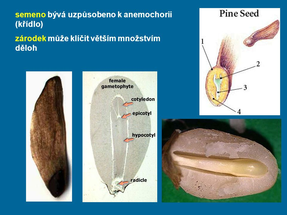 semeno bývá uzpůsobeno k anemochorii (křídlo) zárodek může klíčit větším množstvím děloh