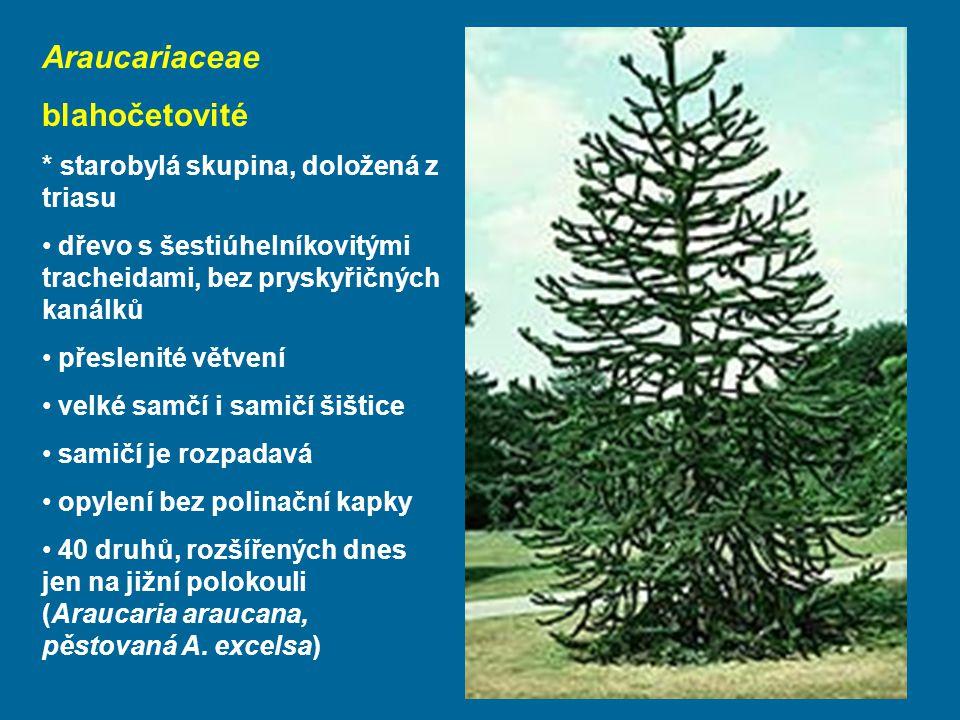 Araucariaceae blahočetovité * starobylá skupina, doložená z triasu dřevo s šestiúhelníkovitými tracheidami, bez pryskyřičných kanálků přeslenité větvení velké samčí i samičí šištice samičí je rozpadavá opylení bez polinační kapky 40 druhů, rozšířených dnes jen na jižní polokouli (Araucaria araucana, pěstovaná A.