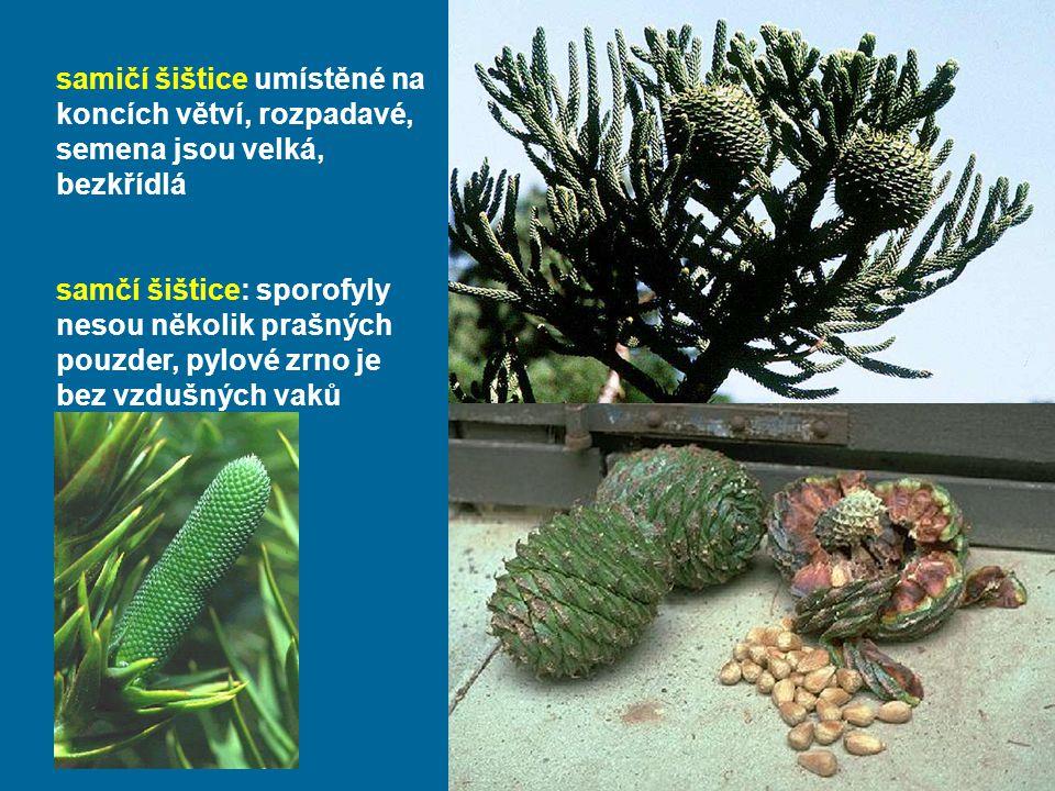 samičí šištice umístěné na koncích větví, rozpadavé, semena jsou velká, bezkřídlá samčí šištice: sporofyly nesou několik prašných pouzder, pylové zrno je bez vzdušných vaků