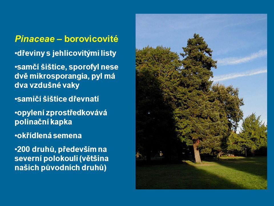 Pinaceae – borovicovité dřeviny s jehlicovitými listy samčí šištice, sporofyl nese dvě mikrosporangia, pyl má dva vzdušné vaky samičí šištice dřevnatí opylení zprostředkovává polinační kapka okřídlená semena 200 druhů, především na severní polokouli (většina našich původních druhů)