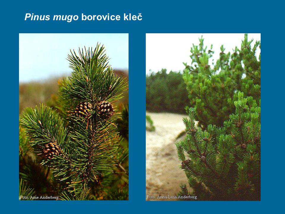 Pinus mugo borovice kleč
