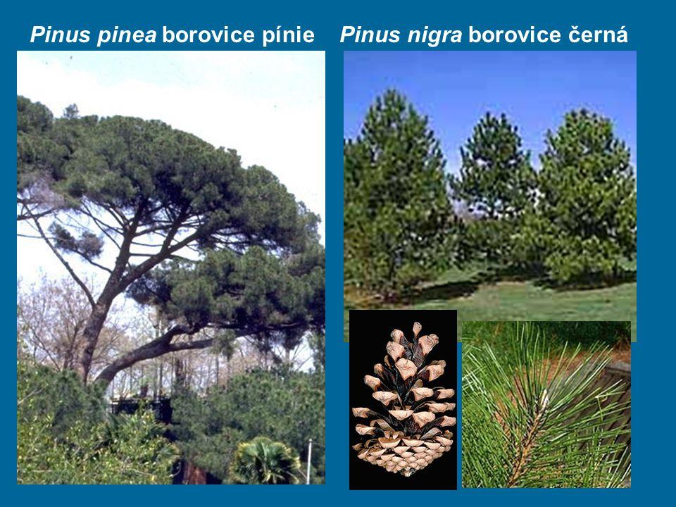 Pinus pinea borovice pínie Pinus nigra borovice černá