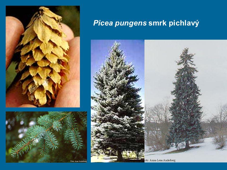 Picea pungens smrk pichlavý