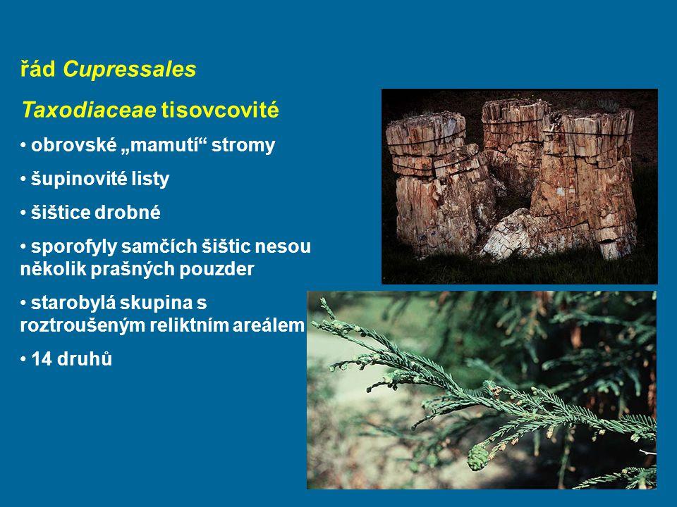 """řád Cupressales Taxodiaceae tisovcovité obrovské """"mamutí stromy šupinovité listy šištice drobné sporofyly samčích šištic nesou několik prašných pouzder starobylá skupina s roztroušeným reliktním areálem 14 druhů"""