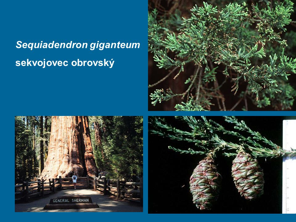 Sequiadendron giganteum sekvojovec obrovský
