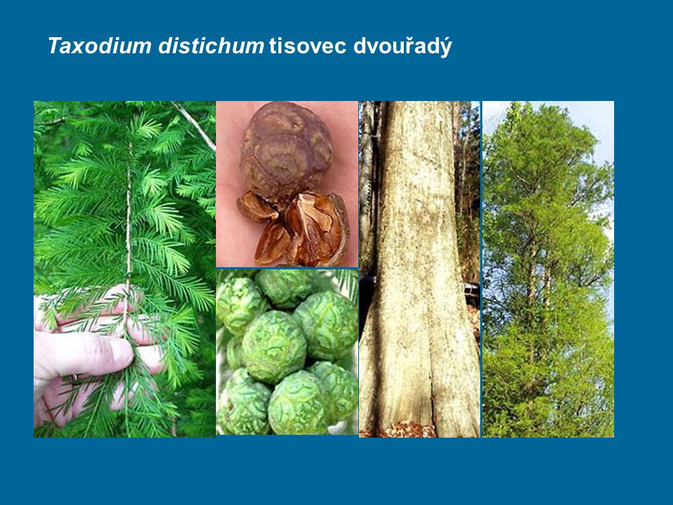Taxodium distichum tisovec dvouřadý